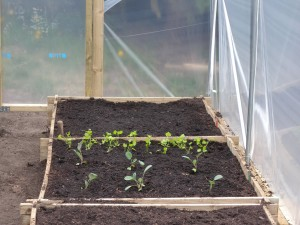 The end bed contains 9 seed potatoe plants.  The bed next door contains two rows of parsnips and 6 cabbages.