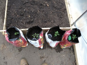 Each one planted in half of a growbag (gaffer tape put around the middle and then cut in half with a Stanley knife).  We have inserted and upside down plastic bottle with the lid and bottom removed.  This acts to funnel the water deep inside the bag.