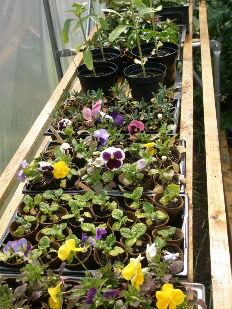 Things seem to be surviving in the polytunnel - even flowers!