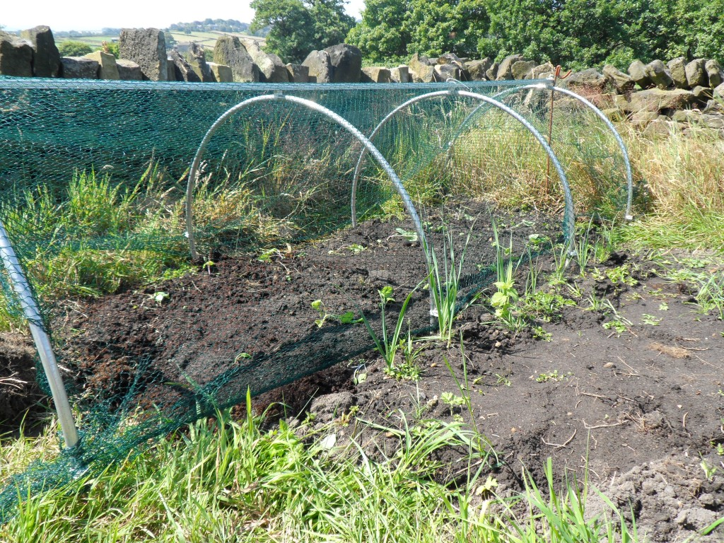 This time we are going to try growing cabbages under netting.  The pigeons ate all of the summer cabbages.  Last year, the cabbage fly ate most of the cabbages in the polytunnel (which was the wrong place for them anyway).  Hopefully, we will have a bit more success with these.